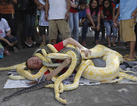 A man is seen wrapped with pythons, some which include the Albino Burmese Python, as part of a show celebrating the coming Year of the Snake in the Chinese calendar, while spectators look on, in Malabon city, north of Manila